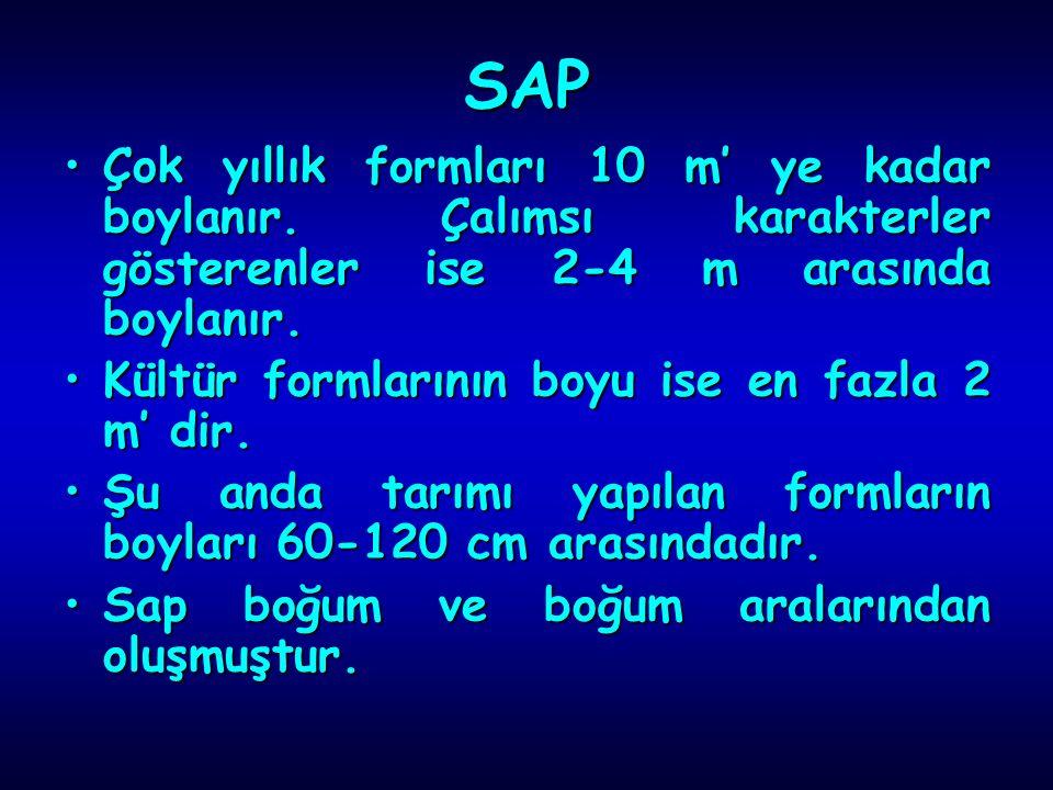 SAP Çok yıllık formları 10 m' ye kadar boylanır.