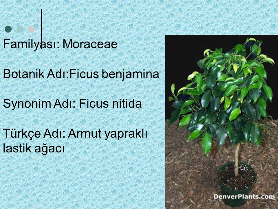 Familyası: Moraceae Botanik Adı:Ficus benjamina Synonim Adı: Ficus nitida Türkçe Adı: Armut yapraklı lastik ağacı