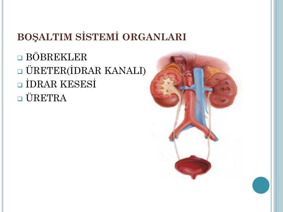 BÖBREKLER Karın boşluğunda,bel omurlarımızın iki yanında bulunan bir çift organımızdır.