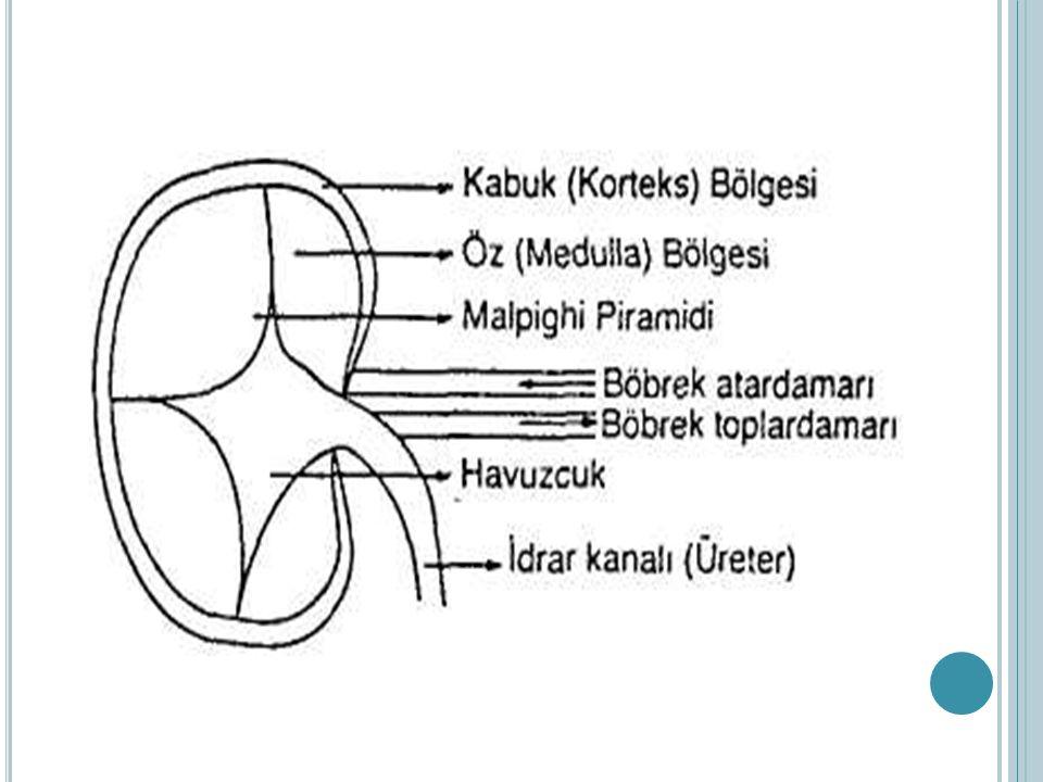 N EFRON ; malpigi cisimciği (glomerulus + bowman kapsülü), proksimal tüp, kıvrımlı kanallar, henle kanalı, distal tüp ve idrar toplama kanalından oluşur.