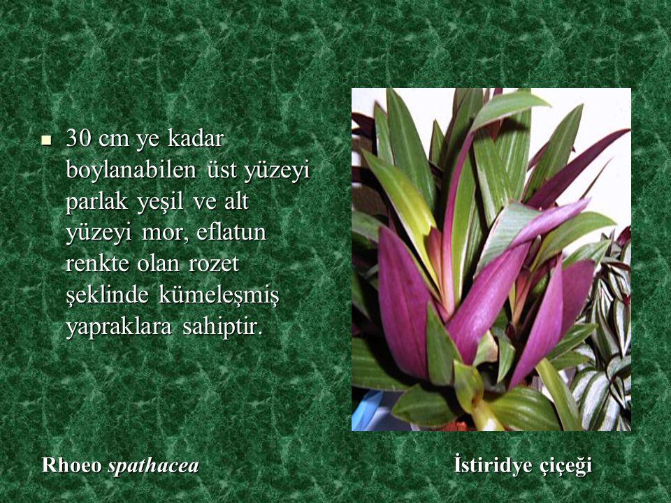 30 cm ye kadar boylanabilen üst yüzeyi parlak yeşil ve alt yüzeyi mor, eflatun renkte olan rozet şeklinde kümeleşmiş yapraklara sahiptir.