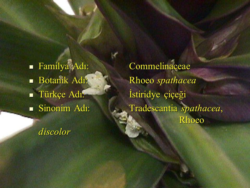 Familya Adı: Commelinaceae Familya Adı: Commelinaceae Botanik Adı: Rhoeo spathacea Botanik Adı: Rhoeo spathacea Türkçe Adı: İstiridye çiçeği Türkçe Adı: İstiridye çiçeği Sinonim Adı: Tradescantia spathacea, Rhoeo discolor Sinonim Adı: Tradescantia spathacea, Rhoeo discolor