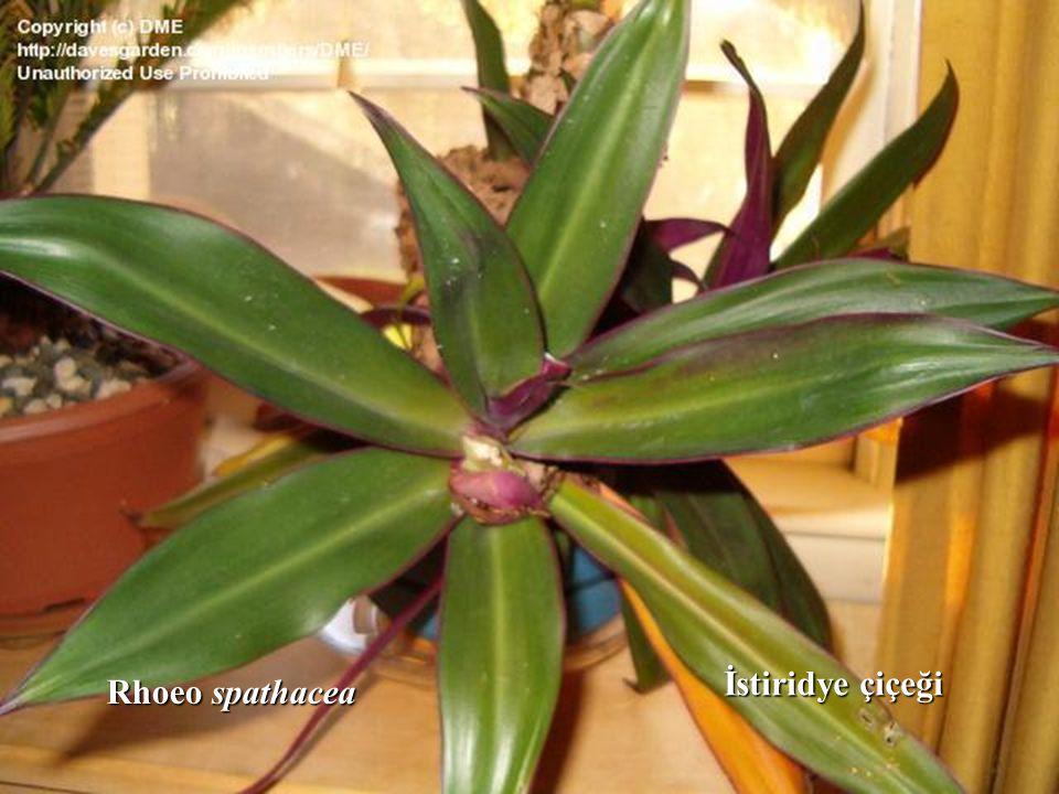 Rhoeo spathacea İstiridye çiçeği