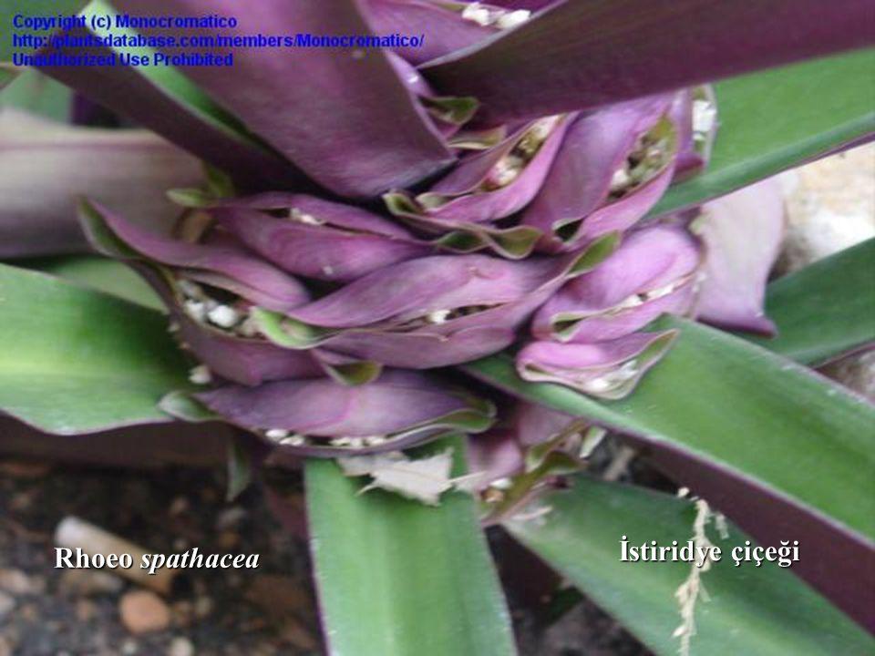 Üretim: ilkbaharda ayırma, çelik ile veya brahtelerin içinde gelişen tohumlarla.