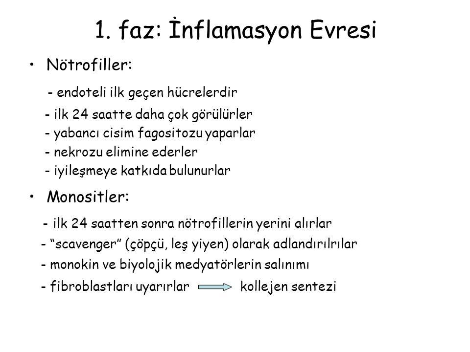 1. faz: İnflamasyon Evresi Nötrofiller: - endoteli ilk geçen hücrelerdir - ilk 24 saatte daha çok görülürler - yabancı cisim fagositozu yaparlar - nek