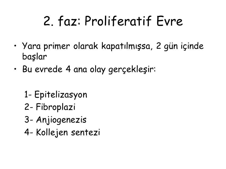2. faz: Proliferatif Evre Yara primer olarak kapatılmışsa, 2 gün içinde başlar Bu evrede 4 ana olay gerçekleşir: 1- Epitelizasyon 2- Fibroplazi 3- Anj
