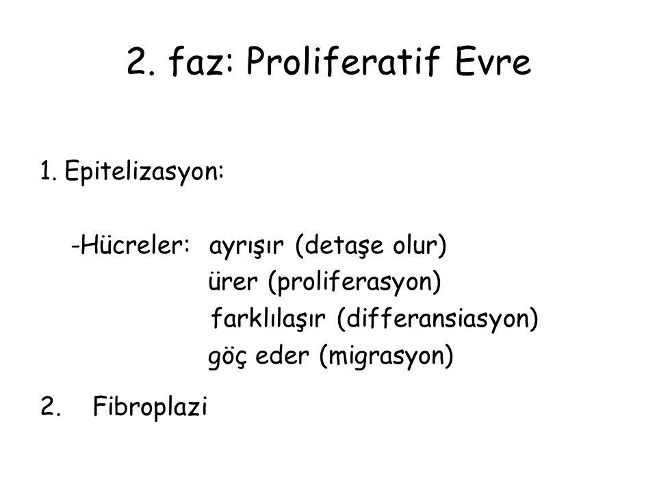 2. faz: Proliferatif Evre 1.Epitelizasyon: -Hücreler: ayrışır (detaşe olur) ürer (proliferasyon) farklılaşır (differansiasyon) göç eder (migrasyon) 2.