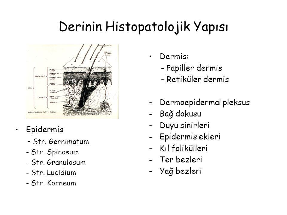 Derinin Histopatolojik Yapısı Dermis: - Papiller dermis - Retiküler dermis -Dermoepidermal pleksus -Bağ dokusu -Duyu sinirleri -Epidermis ekleri -Kıl