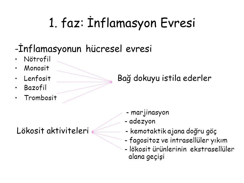 1. faz: İnflamasyon Evresi -İnflamasyonun hücresel evresi Nötrofil Monosit Lenfosit Bağ dokuyu istila ederler Bazofil Trombosit - marjinasyon - adezyo
