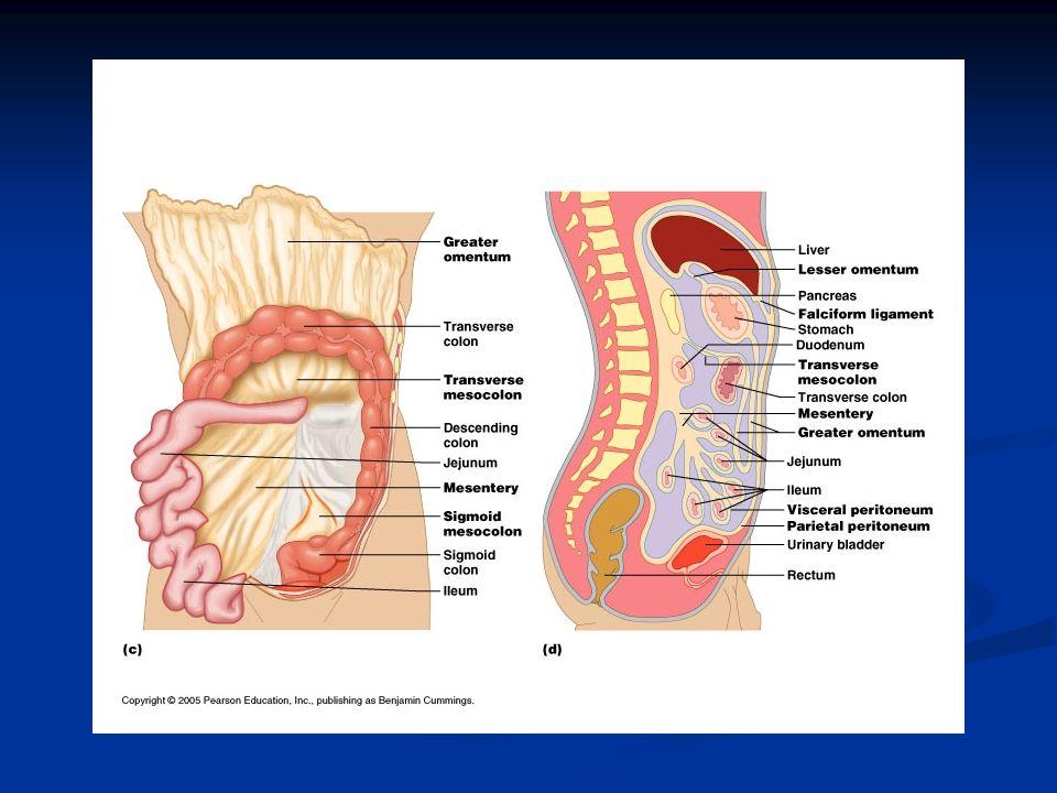 Karın bölgesi; periton boşluğu, retroperitoneal alan ve pelvisi kapsar.