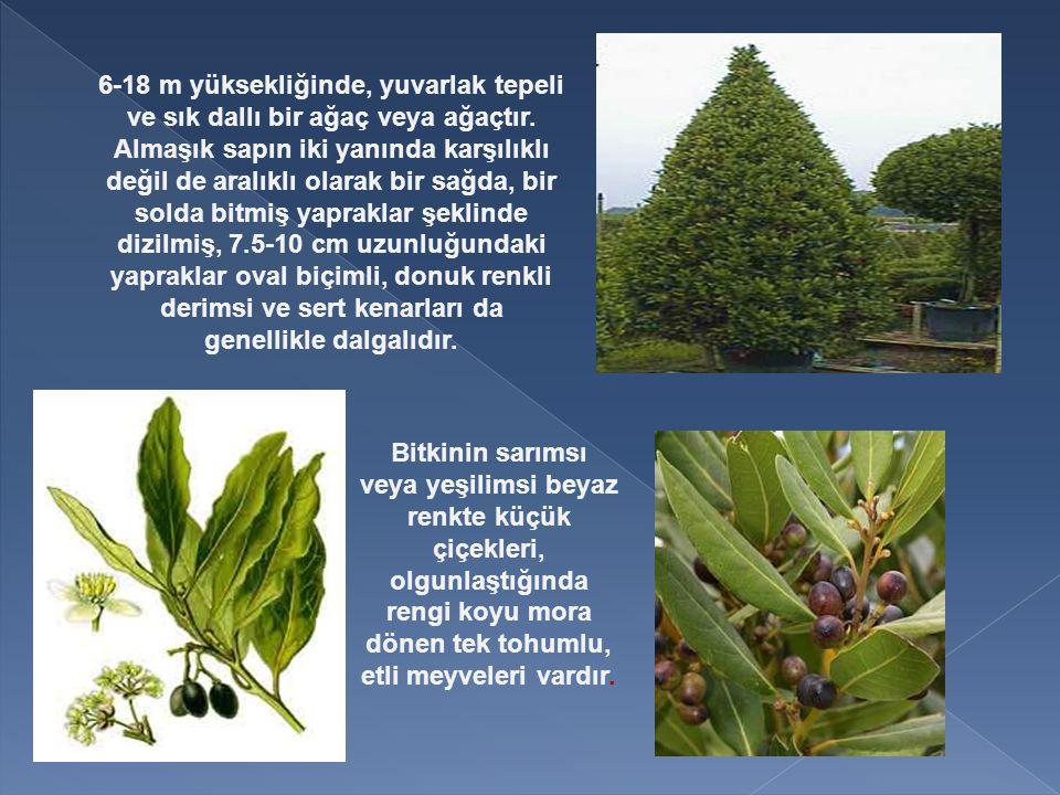 6-18 m yüksekliğinde, yuvarlak tepeli ve sık dallı bir ağaç veya ağaçtır.