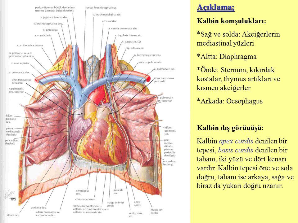 Açıklama; Kalbin komşulukları: *Sağ ve solda: Akciğerlerin mediastinal yüzleri *Altta: Diaphragma *Önde: Sternum, kıkırdak kostalar, thymus artıkları