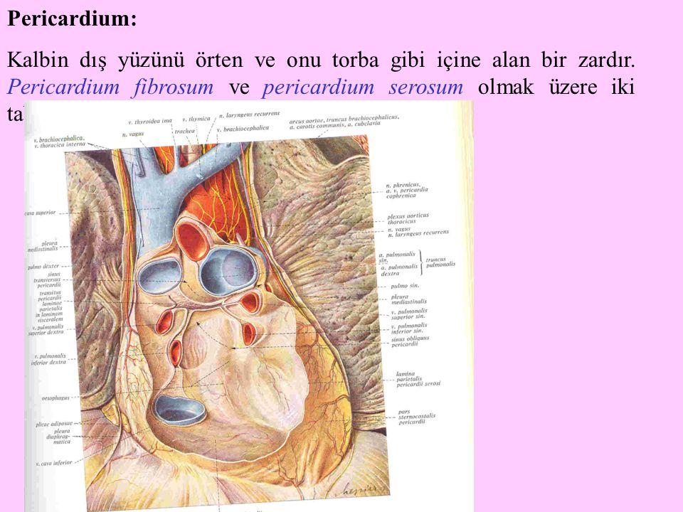 Pericardium: Kalbin dış yüzünü örten ve onu torba gibi içine alan bir zardır. Pericardium fibrosum ve pericardium serosum olmak üzere iki tabakadan ol