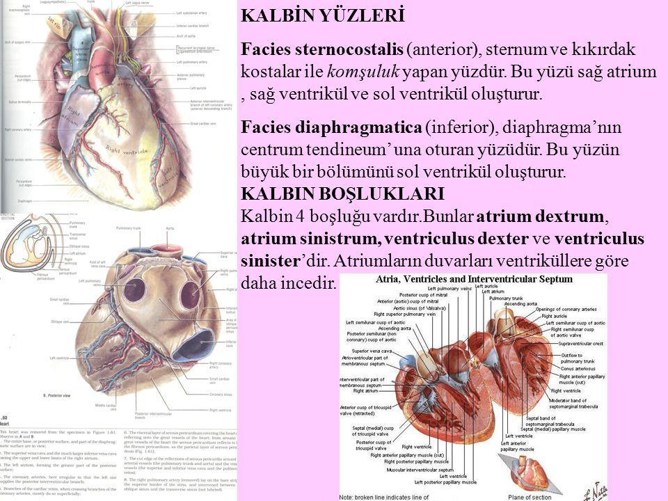 KALBİN YÜZLERİ Facies sternocostalis (anterior), sternum ve kıkırdak kostalar ile komşuluk yapan yüzdür. Bu yüzü sağ atrium, sağ ventrikül ve sol vent