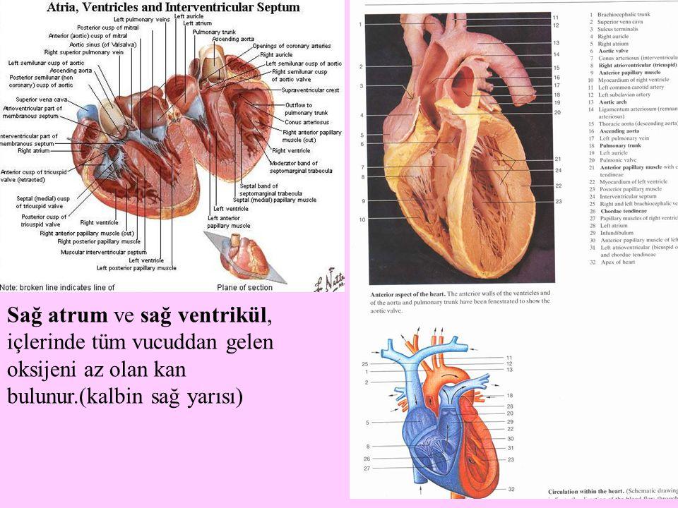 Sağ atrum ve sağ ventrikül, içlerinde tüm vucuddan gelen oksijeni az olan kan bulunur.(kalbin sağ yarısı)