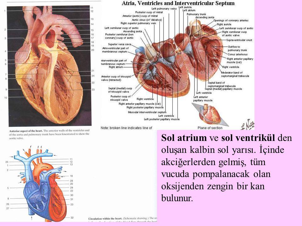 Sol atrium ve sol ventrikül den oluşan kalbin sol yarısı. İçinde akciğerlerden gelmiş, tüm vucuda pompalanacak olan oksijenden zengin bir kan bulunur.