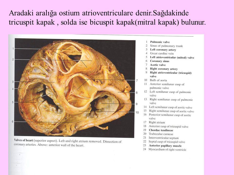 Aradaki aralığa ostium atrioventriculare denir.Sağdakinde tricuspit kapak, solda ise bicuspit kapak(mitral kapak) bulunur.