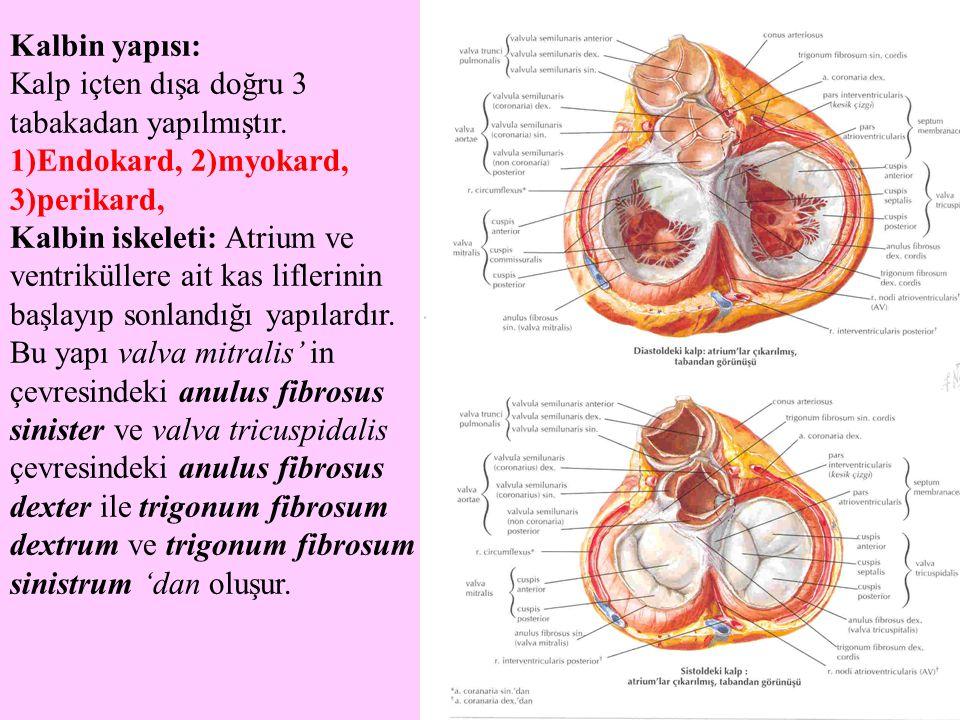 Kalbin yapısı: Kalp içten dışa doğru 3 tabakadan yapılmıştır. 1)Endokard, 2)myokard, 3)perikard, Kalbin iskeleti: Atrium ve ventriküllere ait kas lifl