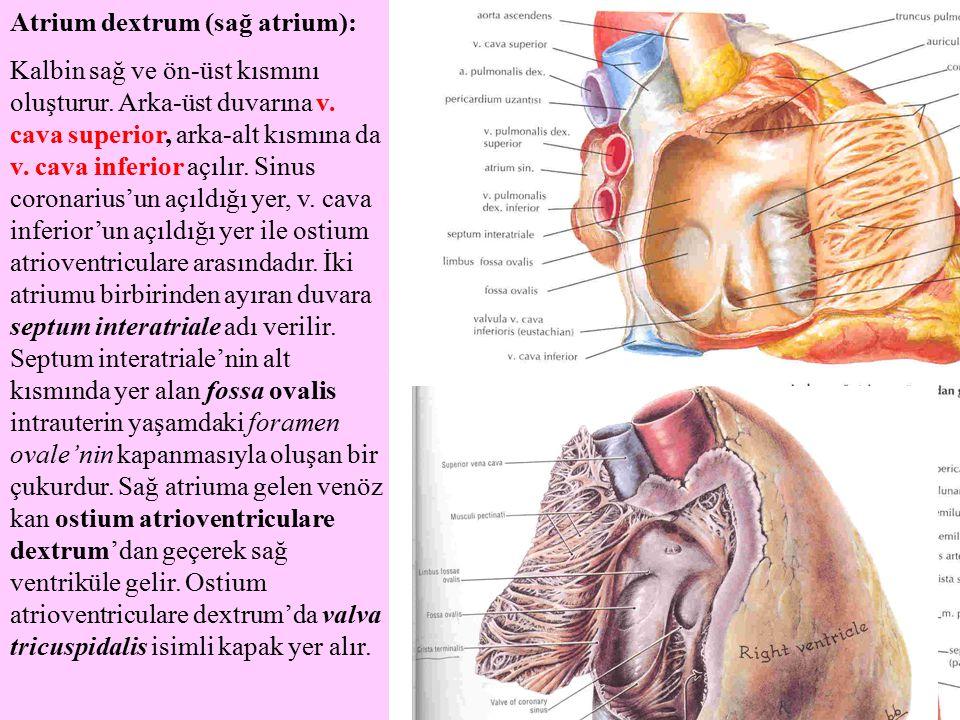 Atrium dextrum (sağ atrium): Kalbin sağ ve ön-üst kısmını oluşturur. Arka-üst duvarına v. cava superior, arka-alt kısmına da v. cava inferior açılır.