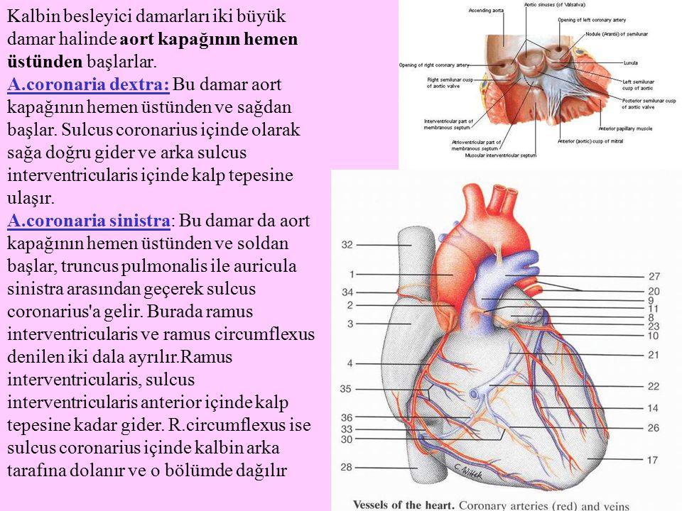 Kalbin besleyici damarları iki büyük damar halinde aort kapağının hemen üstünden başlarlar. A.coronaria dextra: Bu damar aort kapağının hemen üstünden