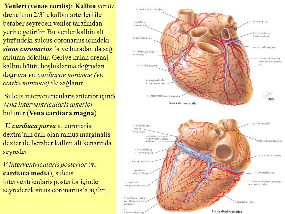 Venleri (venae cordis): Kalbin venöz drenajının 2/3'ü kalbin arterleri ile beraber seyreden venler tarafindan yerine getirilir. Bu venler kalbin alt y