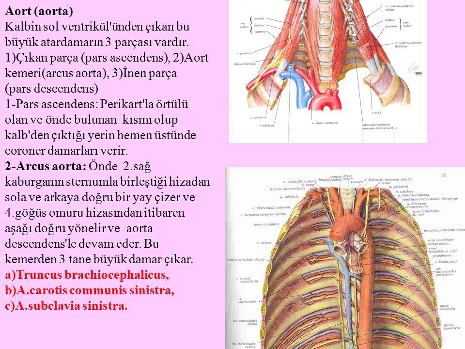 Aort (aorta) Kalbin sol ventrikül'ünden çıkan bu büyük atardamarın 3 parçası vardır. 1)Çıkan parça (pars ascendens), 2)Aort kemeri(arcus aorta), 3)İne