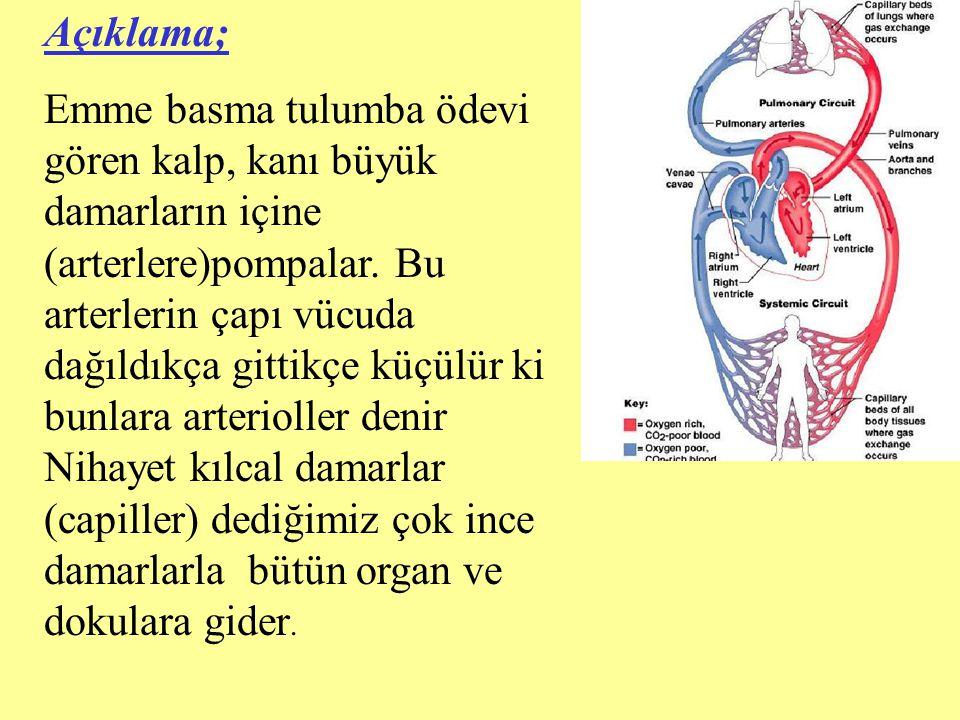 Açıklama; Emme basma tulumba ödevi gören kalp, kanı büyük damarların içine (arterlere)pompalar. Bu arterlerin çapı vücuda dağıldıkça gittikçe küçülür