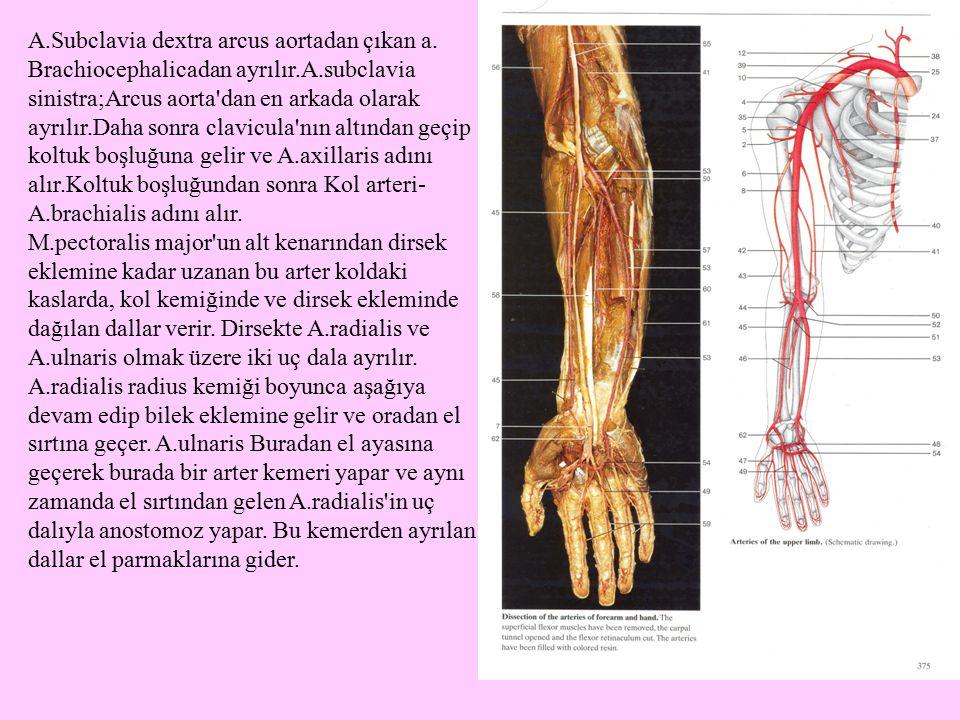A.Subclavia dextra arcus aortadan çıkan a. Brachiocephalicadan ayrılır.A.subclavia sinistra;Arcus aorta'dan en arkada olarak ayrılır.Daha sonra clavic