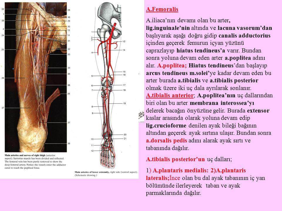 A.Femoralis A.iliaca'nın devamı olan bu arter, lig.inguinale'nin altında ve lacuna vasorum'dan başlıyarak aşağı doğru gidip canalis adductorius içinde
