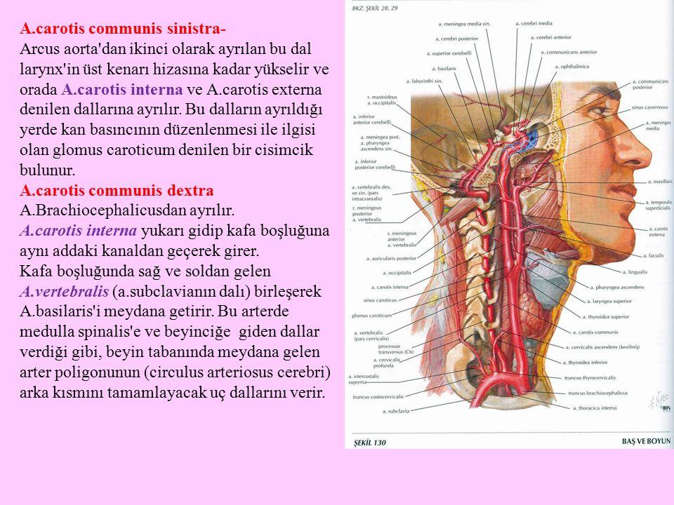 A.carotis communis sinistra- Arcus aorta'dan ikinci olarak ayrılan bu dal larynx'in üst kenarı hizasına kadar yükselir ve orada A.carotis interna ve A
