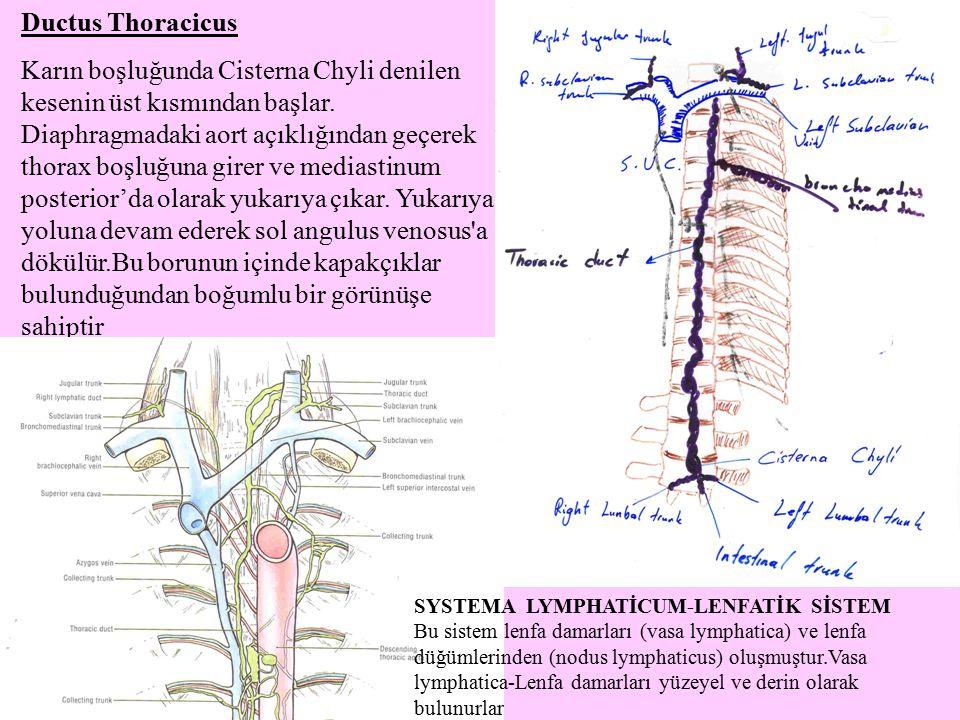 Ductus Thoracicus Karın boşluğunda Cisterna Chyli denilen kesenin üst kısmından başlar. Diaphragmadaki aort açıklığından geçerek thorax boşluğuna gire