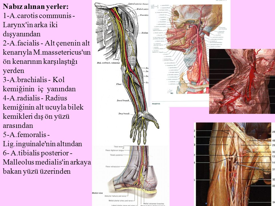 Nabız alınan yerler: 1-A.carotis communis - Larynx'in arka iki dışyanından 2-A.facialis - Alt çenenin alt kenarıyla M.massetericus'un ön kenarının kar
