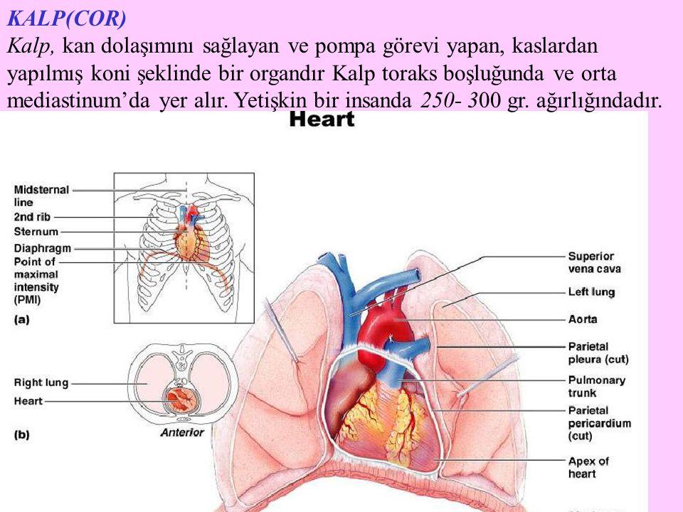 KALP(COR) Kalp, kan dolaşımını sağlayan ve pompa görevi yapan, kaslardan yapılmış koni şeklinde bir organdır Kalp toraks boşluğunda ve orta mediastinu