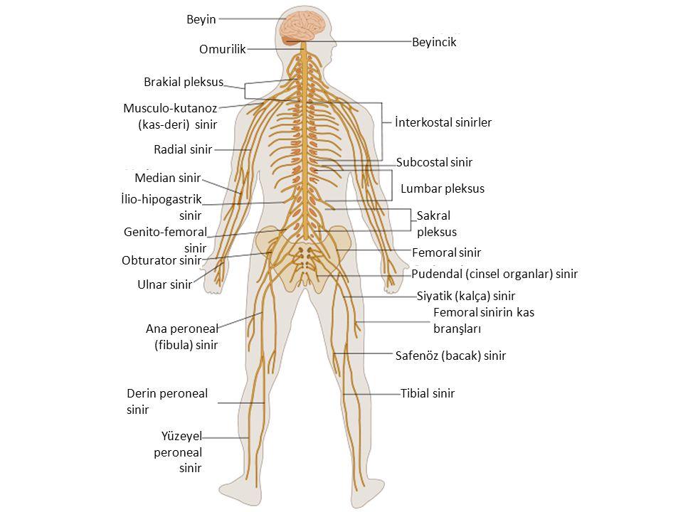 Omurilik Beyin Beyincik İnterkostal sinirler Radial sinir Brakial pleksus Median sinir Subcostal sinir Ulnar sinir Genito-femoral sinir Sakral pleksus