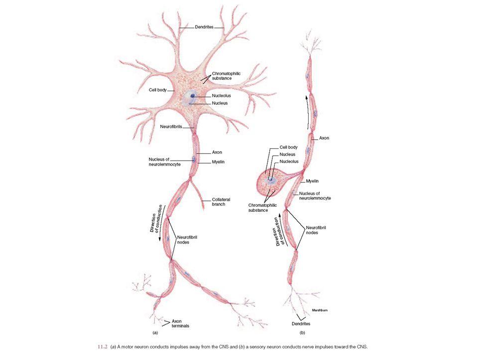 Periferal ve Merkezi Sinir Sistemi arasındaki duyu ve motor sinir ilişkileri.