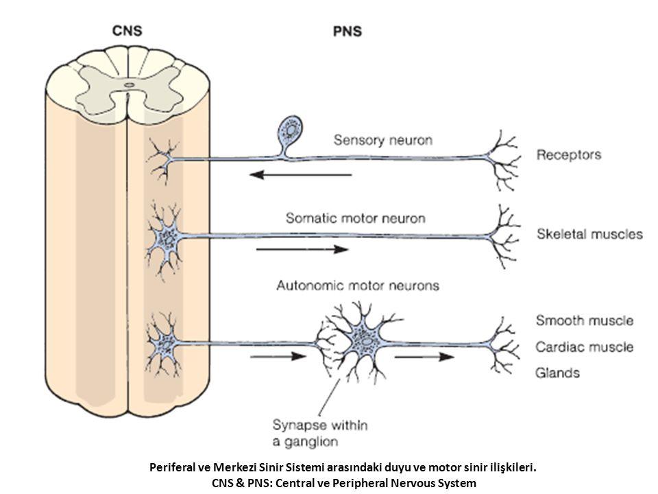 Periferal ve Merkezi Sinir Sistemi arasındaki duyu ve motor sinir ilişkileri. CNS & PNS: Central ve Peripheral Nervous System