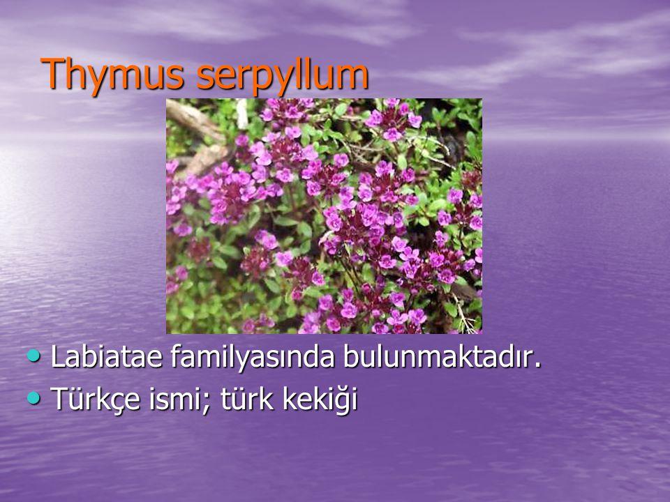 Thymus serpyllum Labiatae familyasında bulunmaktadır. Labiatae familyasında bulunmaktadır. Türkçe ismi; türk kekiği Türkçe ismi; türk kekiği