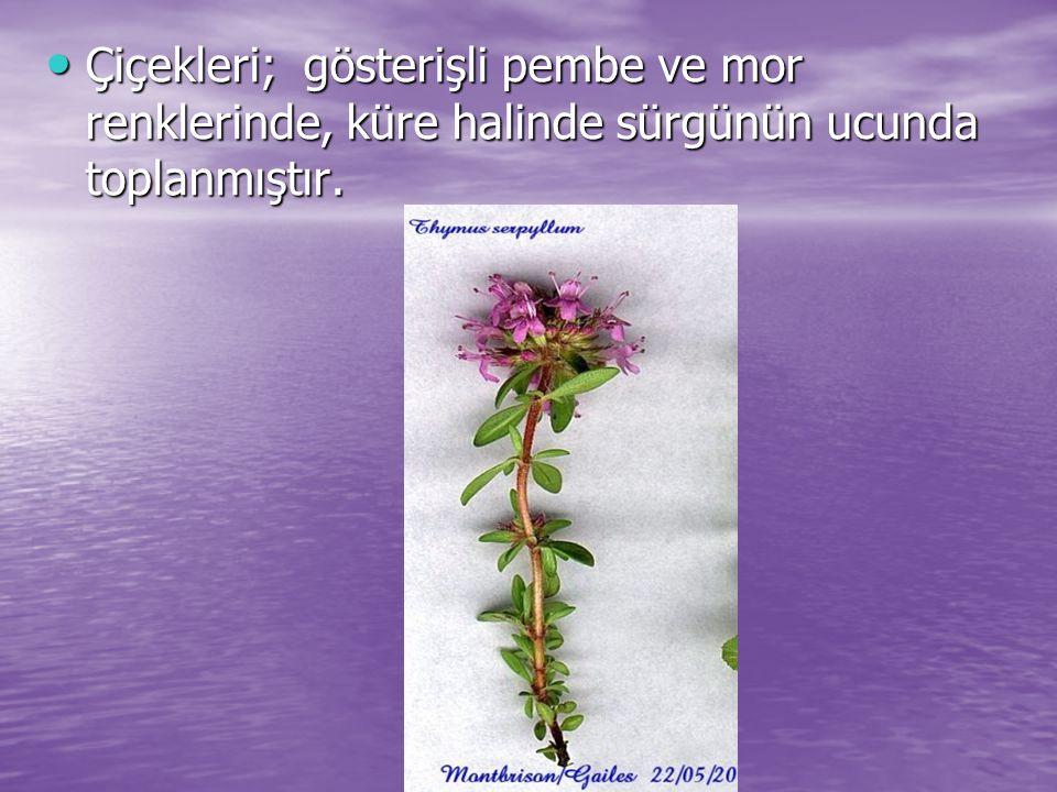 Çiçekleri; gösterişli pembe ve mor renklerinde, küre halinde sürgünün ucunda toplanmıştır. Çiçekleri; gösterişli pembe ve mor renklerinde, küre halind