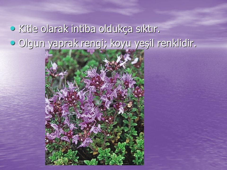 Kitle olarak intiba oldukça sıktır. Kitle olarak intiba oldukça sıktır. Olgun yaprak rengi; koyu yeşil renklidir. Olgun yaprak rengi; koyu yeşil renkl