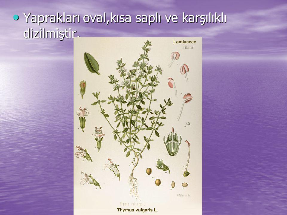 Yaprakları oval,kısa saplı ve karşılıklı dizilmiştir. Yaprakları oval,kısa saplı ve karşılıklı dizilmiştir.