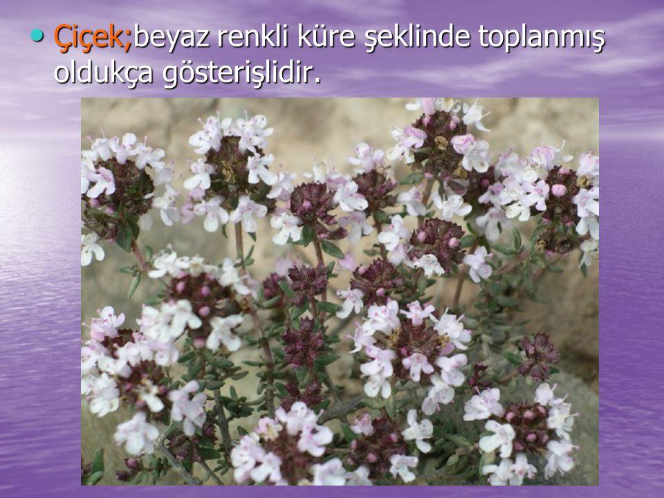 Çiçek;beyaz renkli küre şeklinde toplanmış oldukça gösterişlidir. Çiçek;beyaz renkli küre şeklinde toplanmış oldukça gösterişlidir.