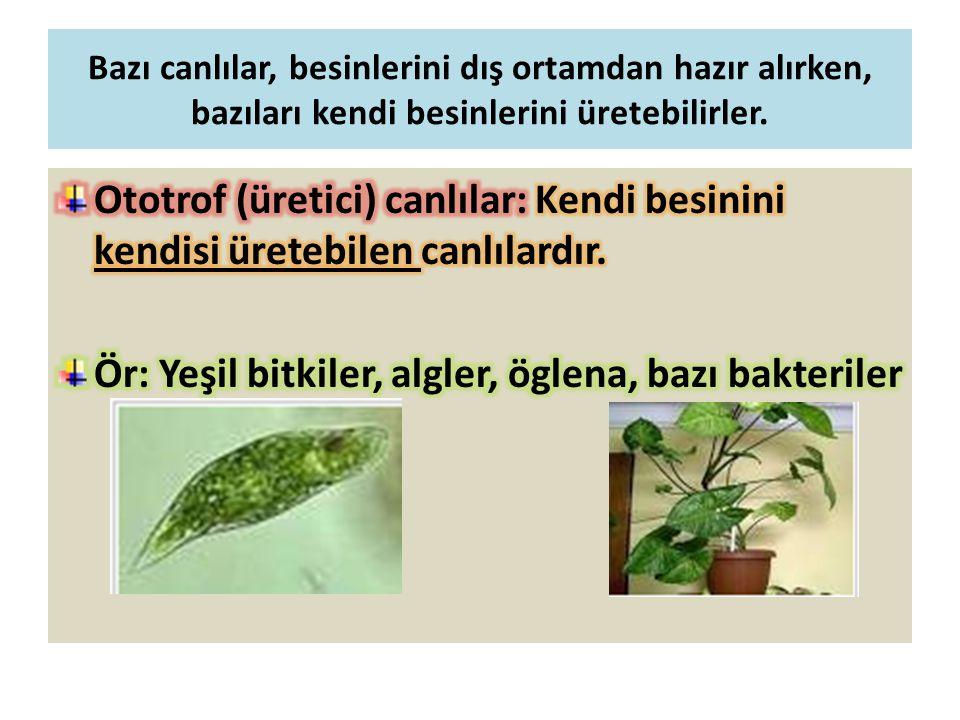 Bazı canlılar, besinlerini dış ortamdan hazır alırken, bazıları kendi besinlerini üretebilirler.
