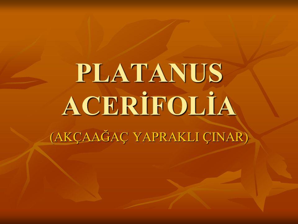 PLATANUS ACERİFOLİA (AKÇAAĞAÇ YAPRAKLI ÇINAR)