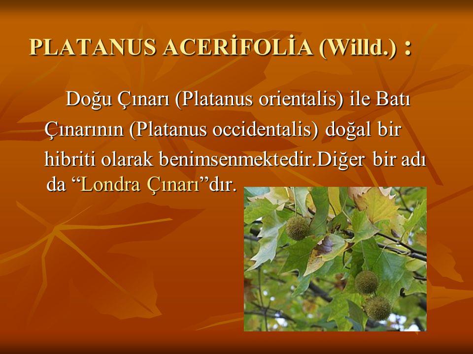 PLATANUS ACERİFOLİA (Willd.) : Doğu Çınarı (Platanus orientalis) ile Batı Doğu Çınarı (Platanus orientalis) ile Batı Çınarının (Platanus occidentalis)