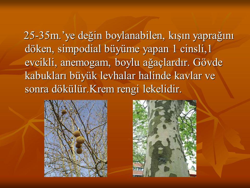 25-35m.'ye değin boylanabilen, kışın yaprağını döken, simpodial büyüme yapan 1 cinsli,1 evcikli, anemogam, boylu ağaçlardır. Gövde kabukları büyük lev