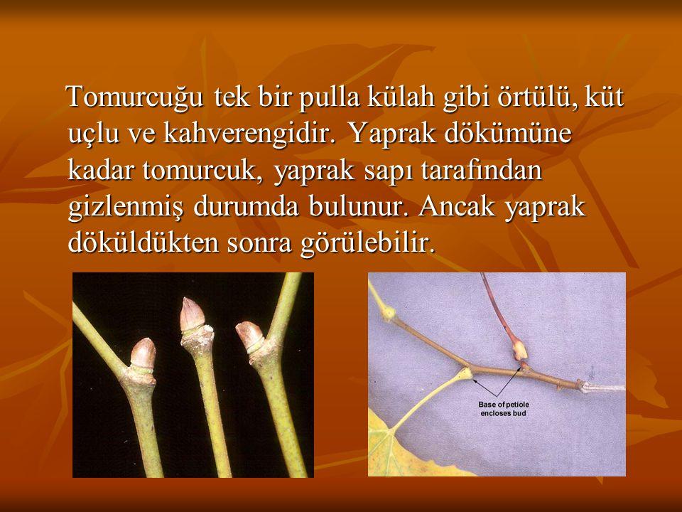 Tomurcuğu tek bir pulla külah gibi örtülü, küt uçlu ve kahverengidir. Yaprak dökümüne kadar tomurcuk, yaprak sapı tarafından gizlenmiş durumda bulunur