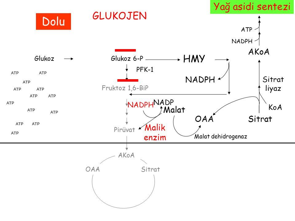 Malik enzim GlukozGlukoz 6-P Fruktoz 1,6-BiP PFK-1 Pirüvat AKoA OAASitrat ATP GLUKOJEN Dolu HMY NADPH ATP SitratOAA Sitrat liyaz KoA AKoA NADPH ATP Ya