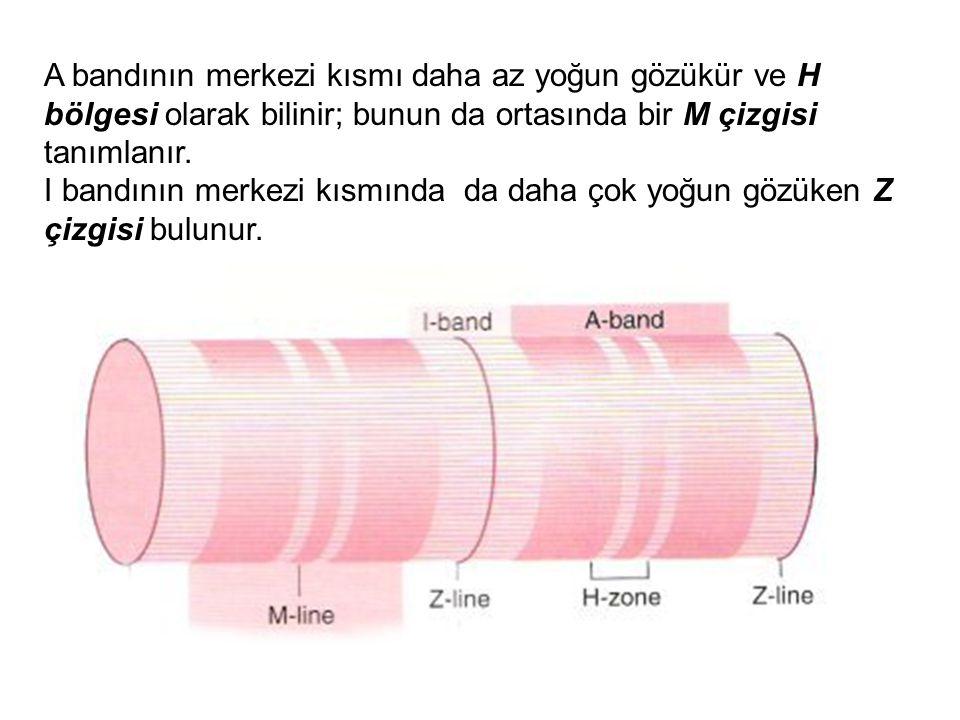 A bandının merkezi kısmı daha az yoğun gözükür ve H bölgesi olarak bilinir; bunun da ortasında bir M çizgisi tanımlanır. I bandının merkezi kısmında d