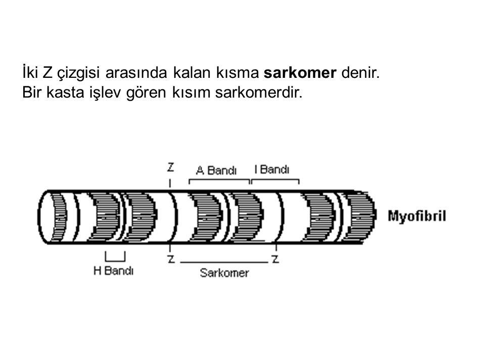 İki Z çizgisi arasında kalan kısma sarkomer denir. Bir kasta işlev gören kısım sarkomerdir.