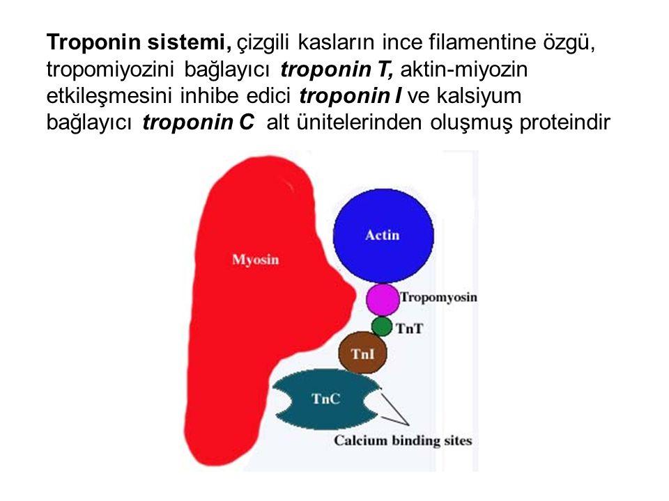 Troponin sistemi, çizgili kasların ince filamentine özgü, tropomiyozini bağlayıcı troponin T, aktin-miyozin etkileşmesini inhibe edici troponin I ve k